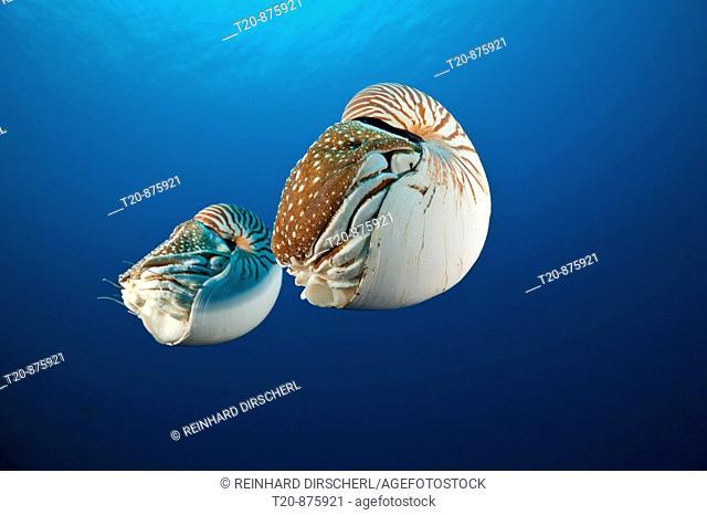 Pair Chambered Nautilus, Nautilus belauensis, Micronesia, Palau