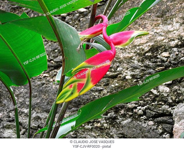 Plant, heliconia, beak, toucan, Rio de Janeiro, Brazil