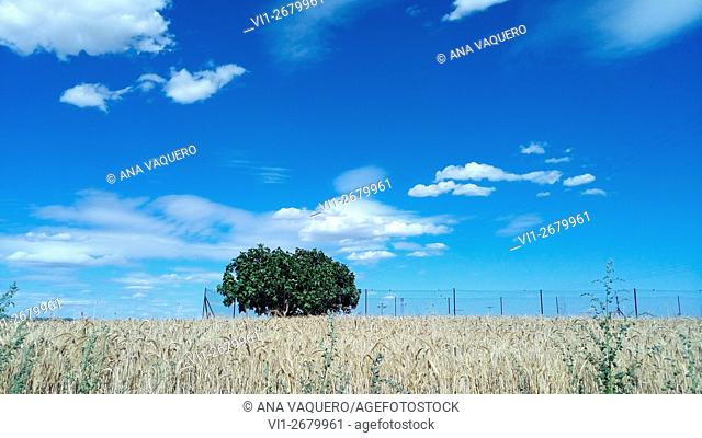 Wheat field on the outskirts of Miajadas, Cáceres, Estremadura