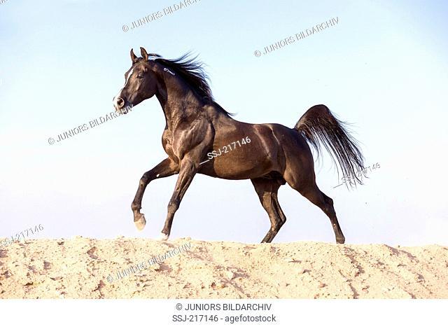 Arabian Horse. Black stallion galloping in desert. Egypt