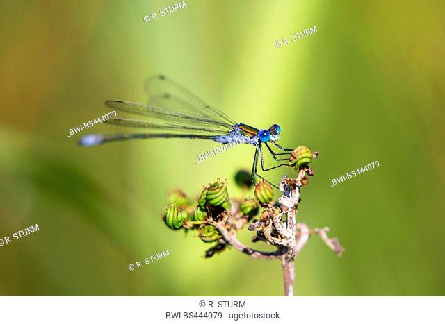lesser emerald damselfly (Lestes virens), sitting on a dried infructescence, side view, Austria, Tyrol