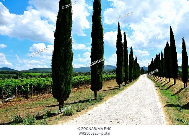 Italian cypress and wine tuscany - Italy