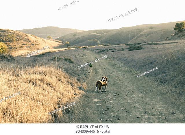 Lone basset hound on a remote dirt track