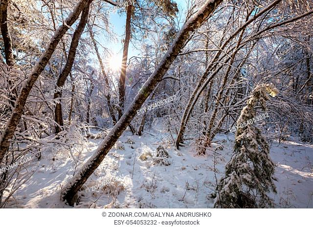 Scenic snow-covered forest in winter season. Good for Christmas background