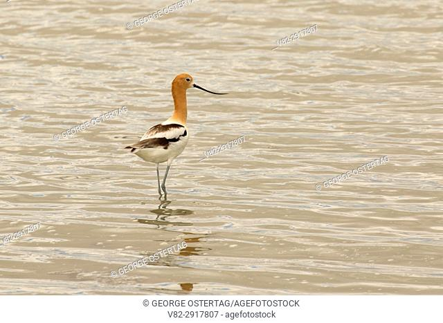 American avocet (Recurvirostra americana), Summer Lake Wildlife Area, Oregon Outback Scenic Byway, Oregon