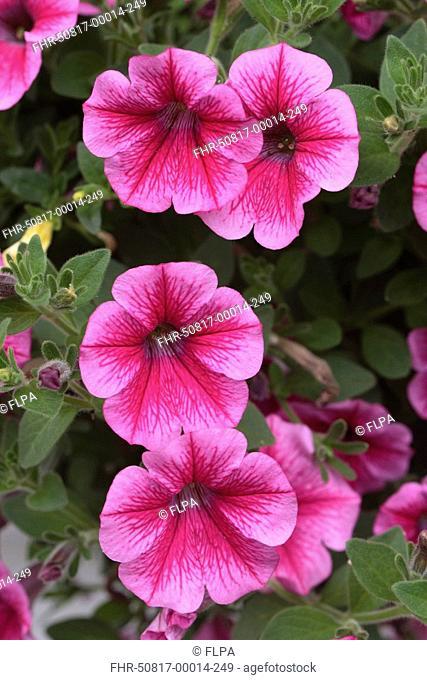 Petunia Petunia multiflora Bloom