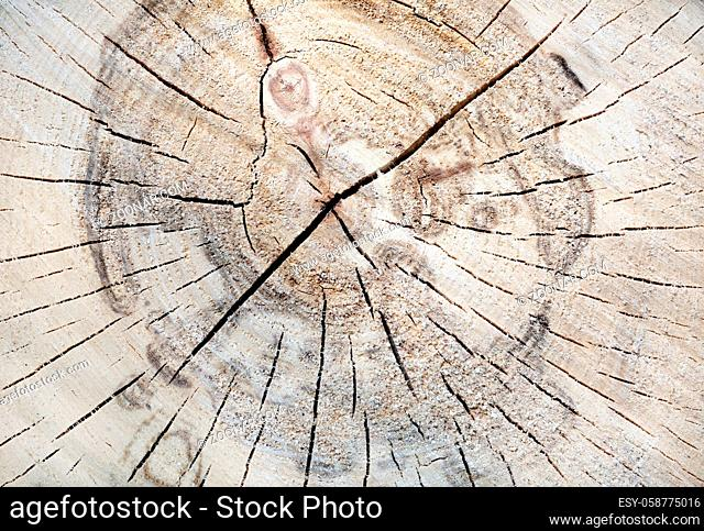 Texture of tree trunk. Wood tree section with cracks and annual rings. Flat wooden background