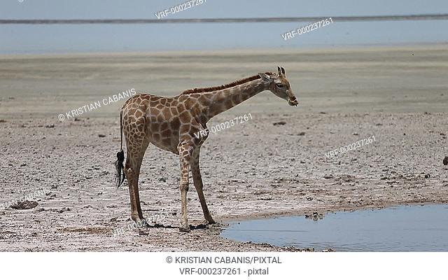 Giraffe drinking, Estosha National Park, Namibia, Africa