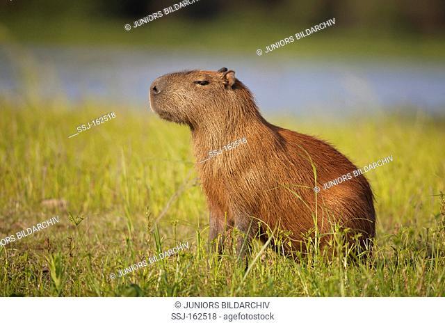 capybara - standing on meadow / Hydrochoerus hydrochaeris