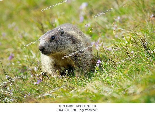 Alpenmurmeltier, Marmota marmota, Alpine Marmot