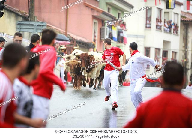 AMPUERO, SPAIN - SEPTEMBER 08: Bulls and people are running in street, encierro, during festival in Ampuero, celebrated on September 08, 2016 in Ampuero, Spain