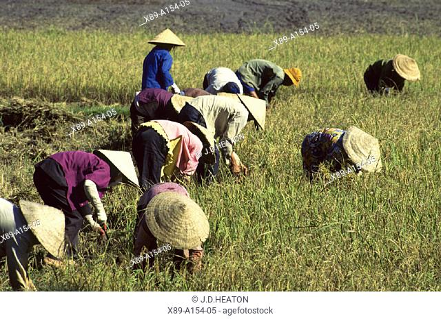 Mekong Delta, Rice Paddy, Vietnam