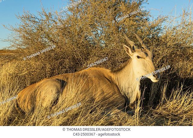 Eland (Taurotragus oryx) - Resting female. Kalahari Desert, Namibia