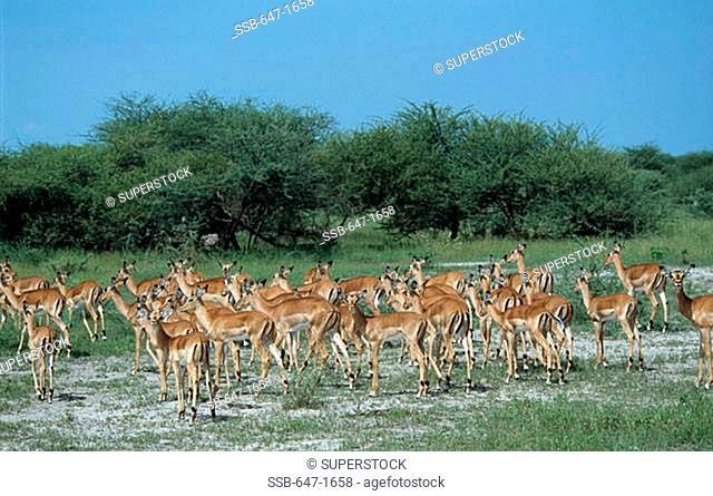 Linyanti Swamp Botswana