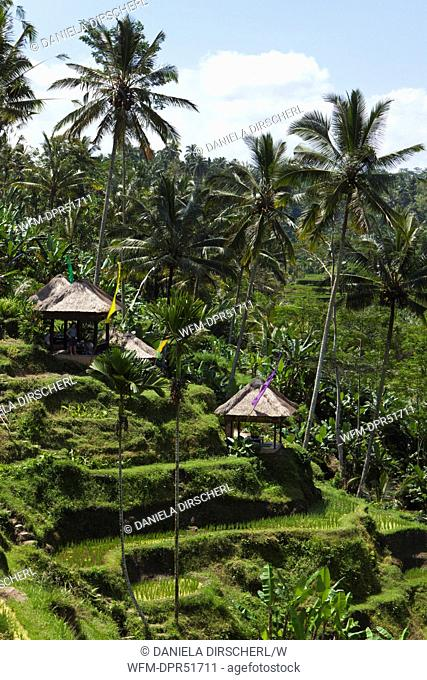 Ricefields of Tegalalang, Oryza, Bali, Indonesia