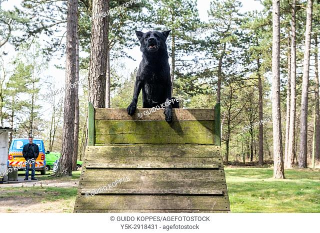 Riel, Netherlands. K9 Police Doggy training jumping a wooden wall