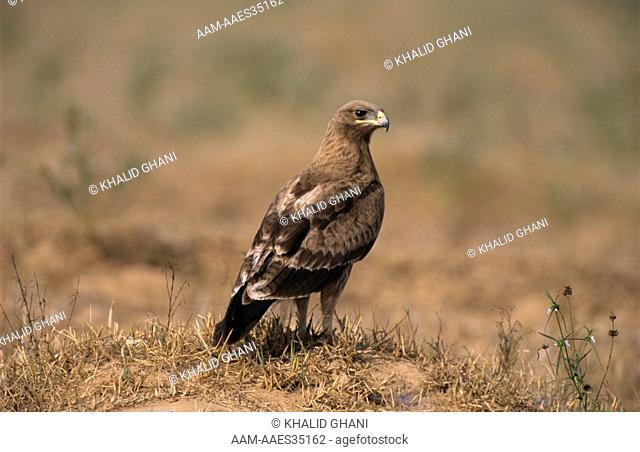 Booted Eagle (Hieraaetus pennatus), Karnataka, S. India