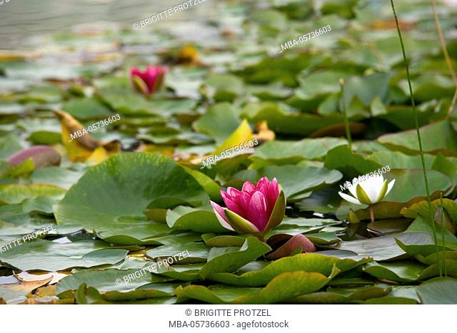 Red and white water lilies in the lake