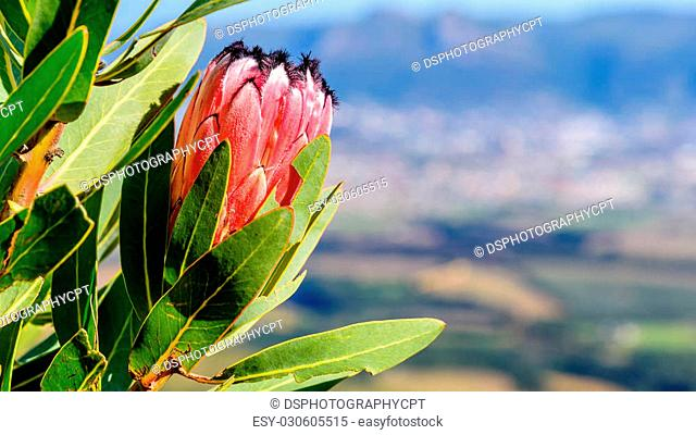 Beautiful red Protea from the Fynbos family (South Africa's National Flower)