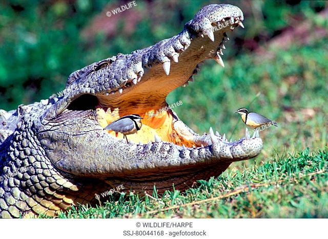 Egyptian Plover (Pluvialis aegypticus) cleaning the teeth of a Nile Crocodile. Uganda, Africa. This picture is a digital composite