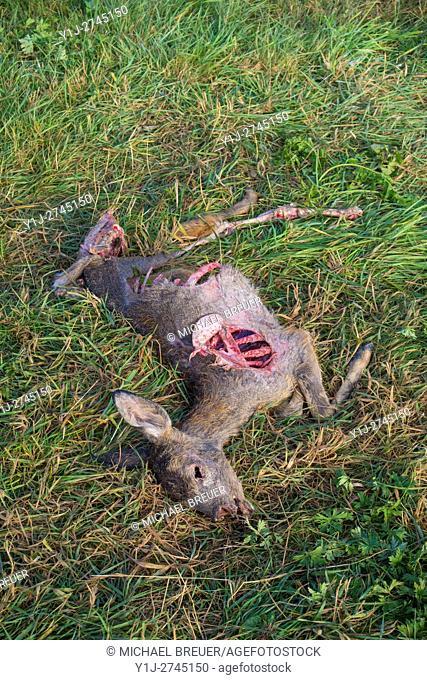 Dead Roe Deer (Capreolus capreolus), Bavaria, Germany, Europe