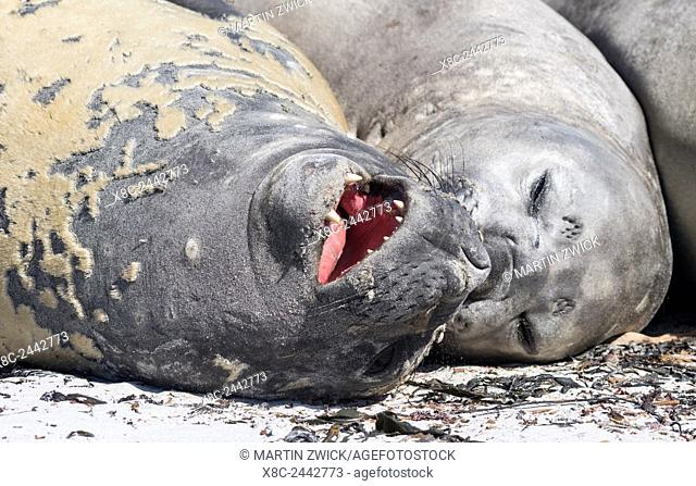 Southern elephant seal (Mirounga leonina), males are social after the breeding season has finished and the harems are dissolved