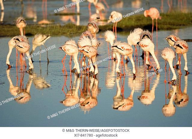 Flock of Greater and Lesser Flamingos; Phoenicopterus ruber; Phoeniconaias minor, Lake Nakuru National Park, Kenya, Africa