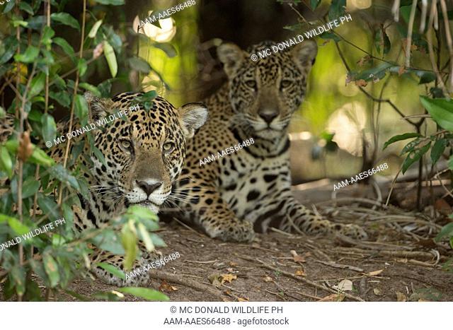Jaguar, Panthera onca, adult with young resting along river, Pantanal, Brazil, South America