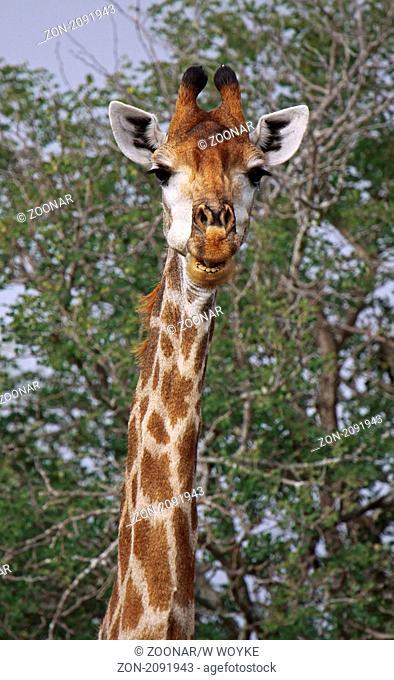 Giraffe Portrait, Kruger Park, South Africa, Giraffa camelopardalis