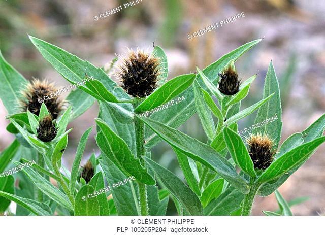 Black knapweed Centaurea nigra in the Italian Alps, Italy