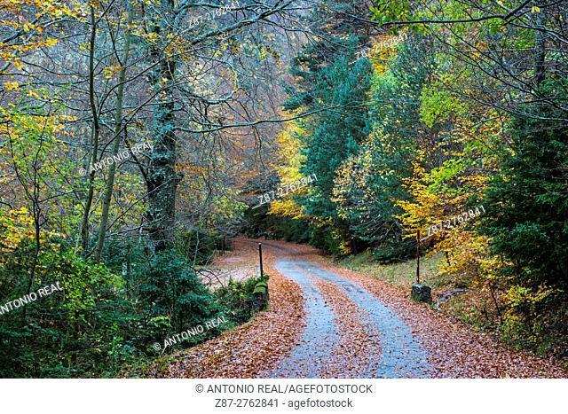 Road in Selva de Oza beechwood (Fagus sylvatrica), Valle de Hecho, Valles Occidentales Natural Park, Pyrenees Mountains, Huesca province, Aragon, Spain
