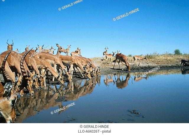 Low angle view of Impala Aepyceros melampus herd drinking at waterhole. Moremi Wildlife Reserve, Botswana