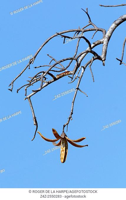 Mountain Mahogany aka Sprague Entandrophragma caudatum. Ruaha National Park. Tanzania