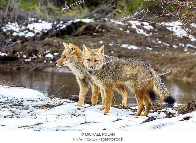 Adult Patagonian red fox (Lycalopex culpaeus) pair in La Pataya Bay, Beagle Channel, Argentina, South America