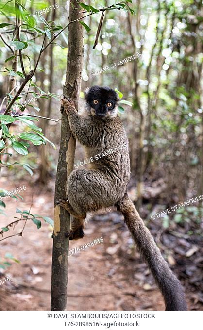 Common brown lemur (Eulemur fulvus), Andasibe-Mantadia National Park, Madagascar