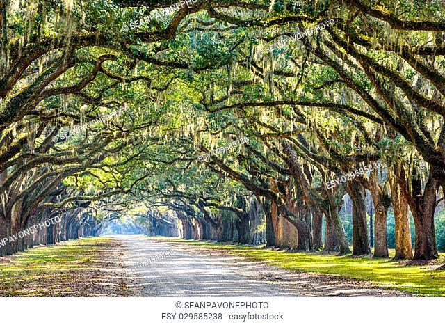 Savannah, Georgia, USA oak tree lined road at historic Wormsloe Plantation