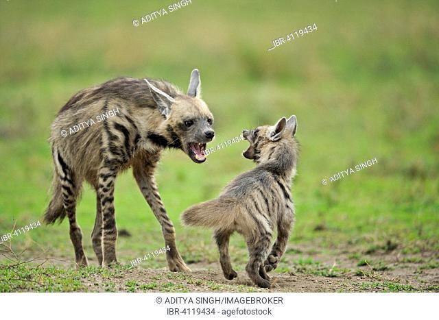 Striped hyena (Hyaena hyaena) mother scolding her cub, Ndutu, Ngorongoro Conservation Area, Tanzania