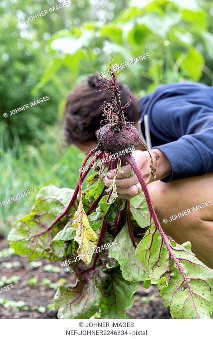 Woman picking beetroot