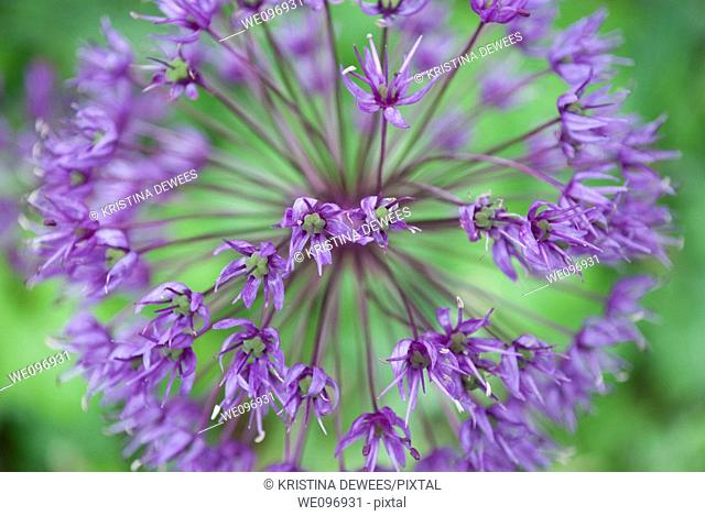 A close up of the blossoms of a globe allium