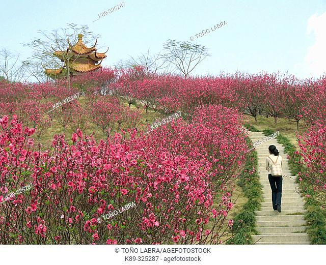 Pagoda and peach tree blossoming. Guangdong, China