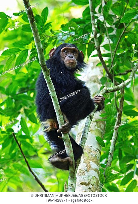 Chimpanzee at Kibale NP uganda