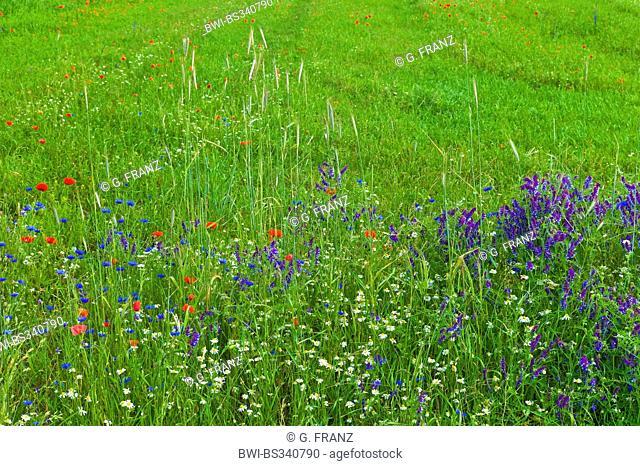 winter vetch, shaggy vetch (Vicia villosa), field with poppy, cornflower and vetch, Germany, Mecklenburg-Western Pomerania