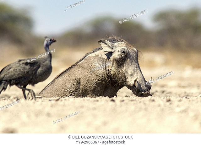 Common warthog (Phacochoerus africanus) taking mud bath - Onkolo Hide, Onguma Game Reserve, Namibia, Africa