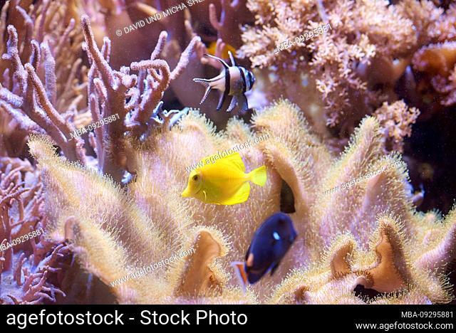 Yellow seabream, Zebrasoma flavenscens, underwater, sideways, swimming