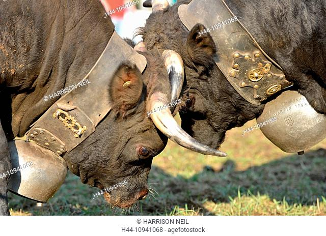 Two cows lock horns as part of a tournament to establish the dominant reine or queen who will lead the herd to the summer pastures