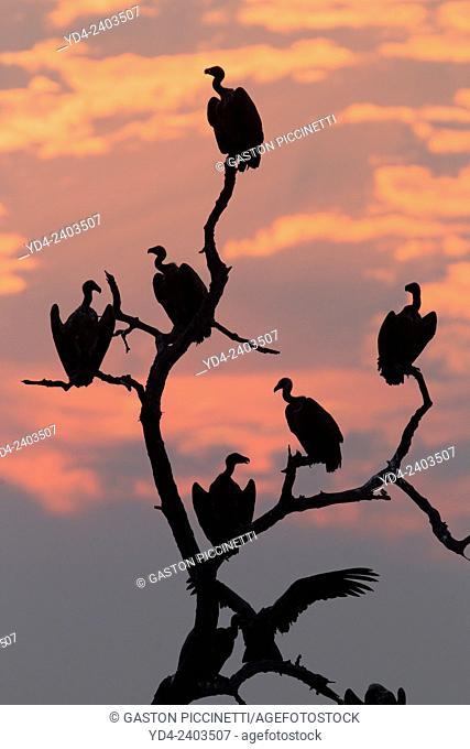 Lappet-faced Vulture (Torgos tracheliotus), on the tree, Chobe National Park, Botswana