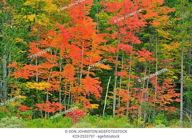 Autumn foliage at the edge of a creek, Lake Superior State Forest, near Seney, Michigan, USA