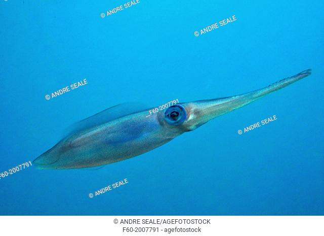 Oval squid, Sepioteuthis lessoniana, Hanauma Bay Nature Preserve Park, Oahu, Hawaii, USA