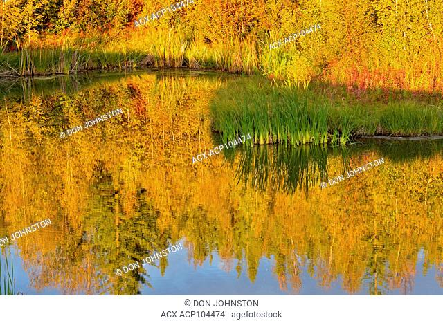 Autumn aspens reflected in a beaver pond, Yellowknife, Northwest Territories, Canada