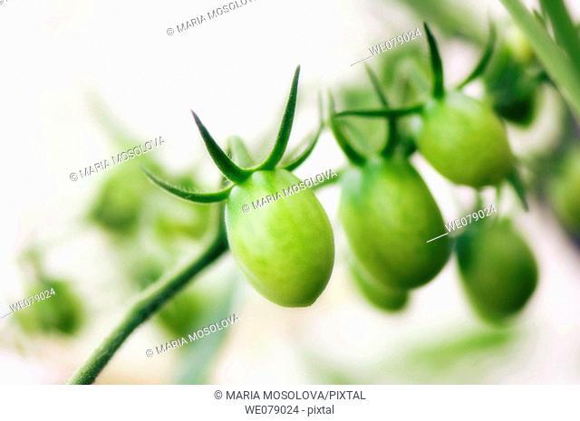 Green Cherry Tomatoes. Solanum lycopersicon. June 2007, Maryland, USA